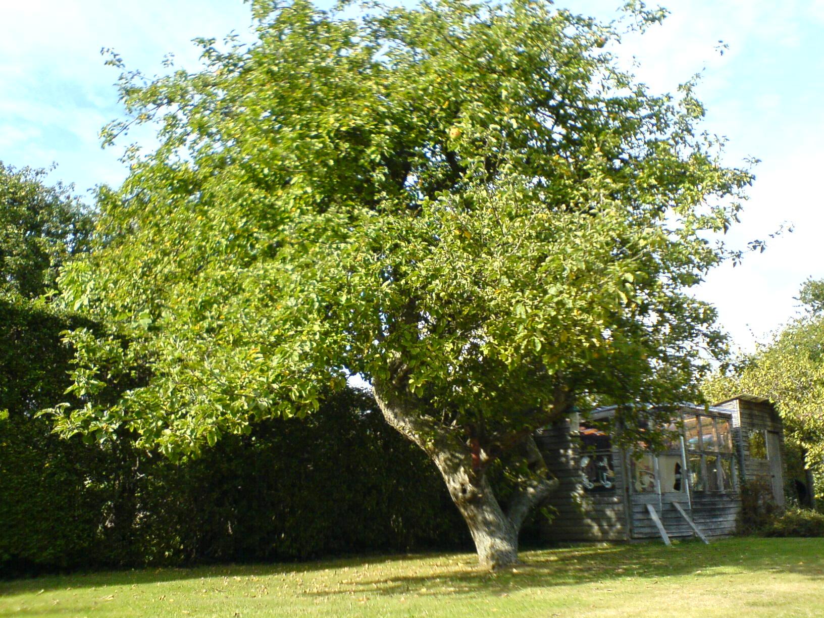 L albero del melo amico dell albero della vita altrotutto for Albero da frutto nano